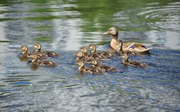 Duck floating in the lake. Wild duck Anas plathyrhynchos family floating in the lake stock image