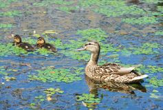 Duck floating in the lake. Wild duck Anas plathyrhynchos family floating in the lake stock photography