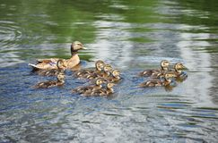 Duck floating in the lake. Wild duck Anas plathyrhynchos family floating in the lake stock photo