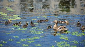 Duck floating in the lake. Wild duck Anas plathyrhynchos family floating in the lake royalty free stock photography