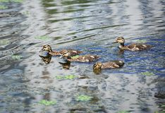 Duck floating in the lake. Wild duck Anas plathyrhynchos family floating in the lake stock images