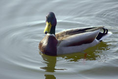 Duck floating on a pond Royalty Free Stock Photography