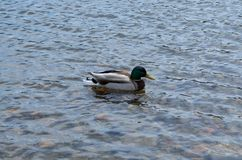 Duck floating on the river stock photos