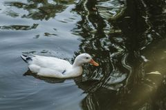 Duck Floating in a Small Pond Royalty Free Stock Photo