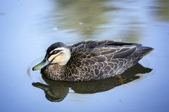 A duck floating through still waters royalty free stock photo