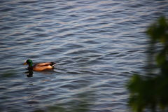 Duck Floating sul Hudson Fotografie Stock