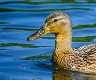 Duck floating on water stock photo