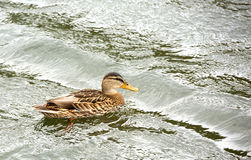 Duck floating in water on lake. On Kamchatka Royalty Free Stock Images