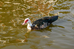 The duck floating on the water Royalty Free Stock Photography