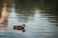 The duck floats on a background of green pond. The duck floats on background of green pond Stock Images
