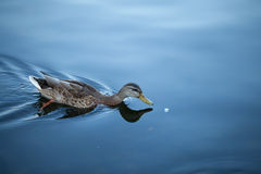 Duck floats behind bread. The duck floats behind a piece of bread Royalty Free Stock Image