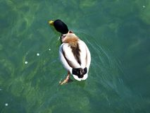 Duck floats in the clear water of the Rhine River, Neuhausen am Rheinfall. Canton of Schaffhausen, Switzerland stock photography