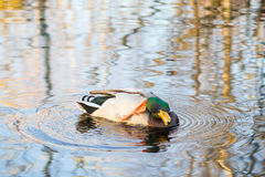 Duck floats in lake Royalty Free Stock Photos