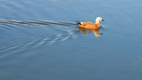 Duck floats on smooth water Royalty Free Stock Photo