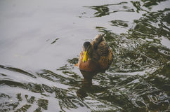 A duck floats on water as she is seen rowing with his paws Royalty Free Stock Image