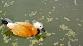 A duck floats in water. A beautiful Park, a duck floats in water Royalty Free Stock Photo