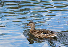 Duck floats on water Stock Photos