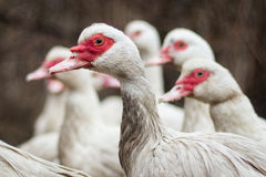 Duck in the flock Royalty Free Stock Photos
