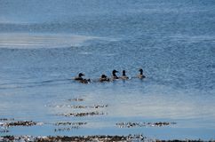 Duck flock swimming in blue fjord Royalty Free Stock Photo