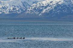 Duck flock swimming in blue fjord with snowy summer mountain Royalty Free Stock Image