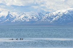 Duck flock swimming in blue fjord with snowy summer mountain Stock Photography