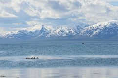 Duck flock swimming in blue fjord with snowy summer mountain Stock Images