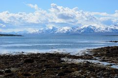 Duck flock swimming in blue fjord with snowy summer mountain background Stock Photos