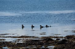 Duck flock swimming in blue fjord Royalty Free Stock Photos