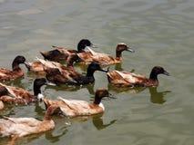 Duck flock stock photo