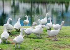 Duck flocks Royalty Free Stock Image