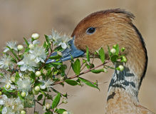 Duck with flowers Stock Photos