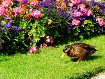 Duck and flowers stock images