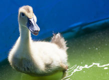Duck. Fluffy young yellow duck in a pool Royalty Free Stock Image