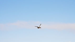 The duck flying. In the blue sky Stock Photography