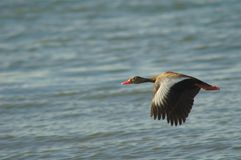 Duck flying. A wild duck flying stock photography