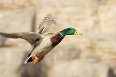 Duck flying Royalty Free Stock Photos