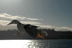 Duck Flying Stock Images