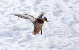 Duck flying against white snow in winter.  Stock Images