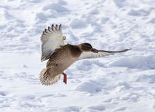 Duck flying against white snow in winter.  Royalty Free Stock Photography