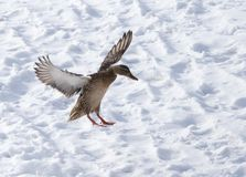 Duck flying against white snow in winter.  Stock Image