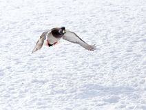 Duck flying against white snow in winter.  Stock Photos