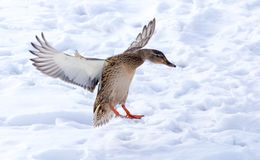 Duck flying against white snow in winter.  Stock Photography