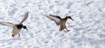 Duck flying against white snow in winter.  Stock Photo