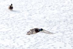 Duck flying against white snow in winter.  Royalty Free Stock Photo