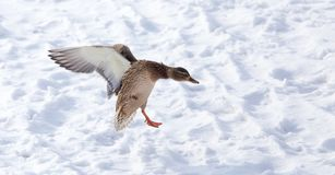 Duck flying against white snow in winter.  Royalty Free Stock Images