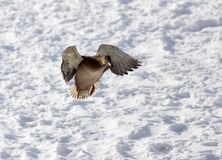 Duck flying against white snow in winter.  Royalty Free Stock Image