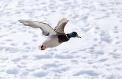 Duck flying against white snow in winter.  Royalty Free Stock Photos