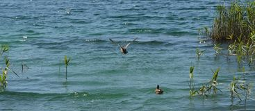 A duck flying Stock Photos