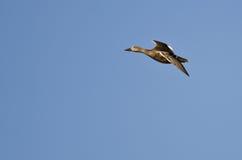 Duck Flying femenino solitario en un cielo azul Foto de archivo