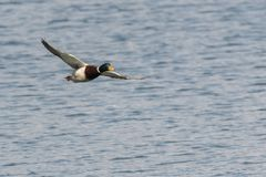 Duck flying on lake. A duck flying on lake Stock Images